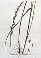 Triticum junceum — Flora Batava — Volume v4.jpg