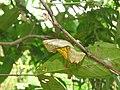 Troides minos - Southern Birdwing pupa at Thattekkadu (6).jpg