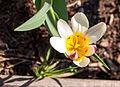 Tulipa (8741114583).jpg