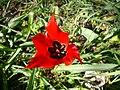 Tulipa agenensis003.JPG