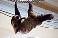 Two-toed Sloth (5486424519) (2).jpg