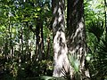 Two Historic Multi Trunk Cypress Trees - panoramio.jpg