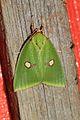 Tyana marina, female (Nolidae- Chloephorinae- Chloephorini) (5641273857).jpg