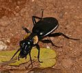 Tyrant Ground Beetle (Anthia thoracica) female (31315497076).jpg