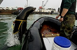 US Navy 030213-N-3783H-011 Zak, a 375-pound California sea lion, leaps back into the boat after a harbor-patrol training mission.jpg