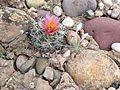 Uinta Basin Hookless Cactus (Sclerocatus wetlandicus) (16361140254).jpg