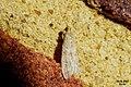 Unid. Ephestia sp. (BG) (36571562203).jpg