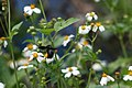 Unidentified Black Bee (5780251639).jpg