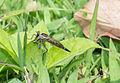 Unidentified insect, Sambisari Temple complex 10.jpg