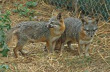 La volpe grigia delle isole è una specie in pericolo critico.