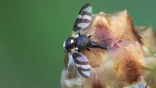File:Urophora quadrifasciata oviposition 2012-08-03.ogv
