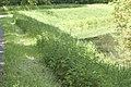 Urtica dioica (Grande ortie) 01.jpg