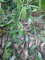 Vanilla planifolia-Sri Lanka (2).jpg