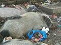 Varanasi 37 - pigs (26346032679).jpg
