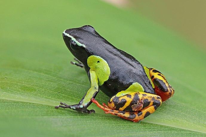 Variegated golden frog (Mantella baroni) Ranomafana.jpg