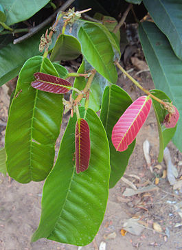 Vateria indica leaves.jpg