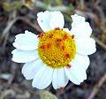 Velvet mites. Trombideum sp. - Flickr - gailhampshire.jpg