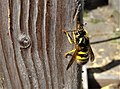 Vespula germanica collecting wood to pulp for its nest construction.jpg