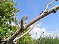 Viburnum bark 01.jpg