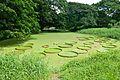 Victoria amazonica Leaves - Janardan Lake - Indian Botanic Garden - Howrah 2012-09-20 0106.JPG