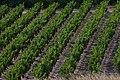Vignoble d'Aragon en Cabardès.jpg