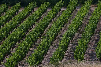 Aragon, Aude - A Vineyard at Aragon