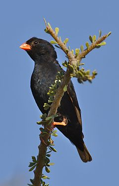 Village indigobird, Vidua chalybeata, at Mapungubwe National Park, Limpopo, South Africa (male) (18010932306).jpg