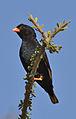 Village indigobird, Vidua chalybeata, at Mapungubwe National Park, Limpopo, South Africa (male) (18010932306).jpg