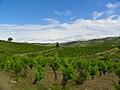 Villeneuve les Corbieres - The vines.jpg