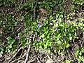 Viola alba subsp. violacea sl11.jpg