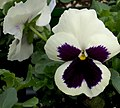 Viola tricolor Colossus White With Blotch 0zz.jpg