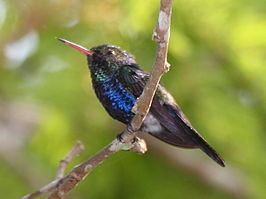 Violet-bellied Hummingbird.jpg