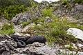 Vipera berus melanotica nel suo ambiente.jpg