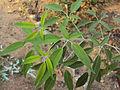 Vitex trifolia white.jpg