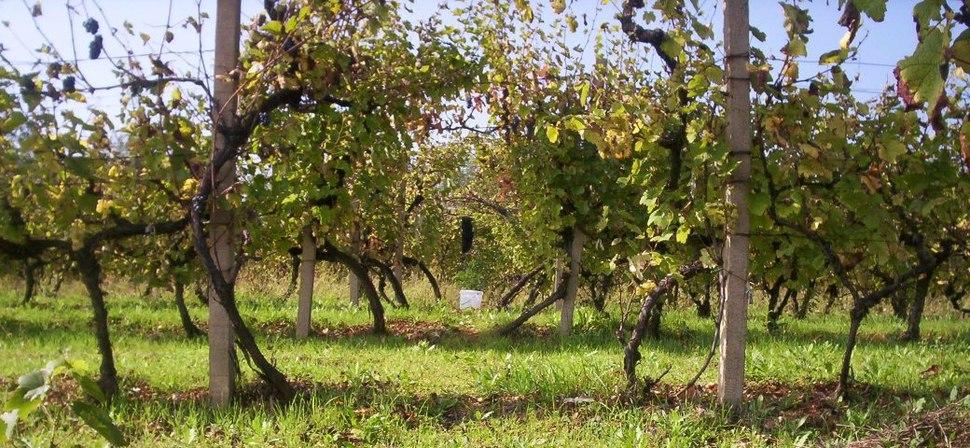 Vlasotince vinogorje4