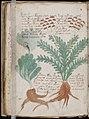 Voynich Manuscript (160).jpg