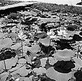 Waterlelies in de Van Drimmelenpolder in Nickerie, Bestanddeelnr 252-5536.jpg