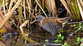 Waterral - Water Rail (15310271204).jpg
