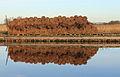 Weerribben Wieden. Opslag gesneden riet. (Phragmites australis) 02.JPG