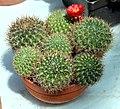 Weingartia trollii Succulents exhibition in Botanical Garden of Charles University 2016.jpg