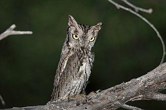 Western screech owl - Image: Western Screech Owl (Megascops kennicottii) (17026365169)
