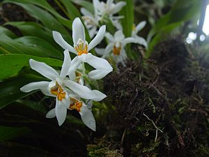 Kurseong - Coelogyne cristata, the white orchid from Kurseong