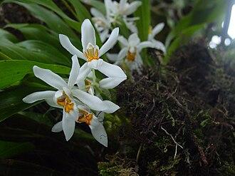 Kurseong - Coelogyne cristata, the white orchid from Kurseong