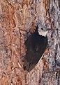 White-headed Woodpecker (9122170810).jpg