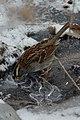 White-throated Sparrow (Zonotrichia albicollis) - Cambridge, Ontario 2019-02-09 (02).jpg