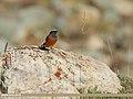 White-winged Redstart (Phoenicurus erythrogastrus) (44855323255).jpg