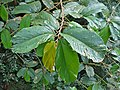 White Seraya (Parashorea macrophylla) leaves (15503858636).jpg