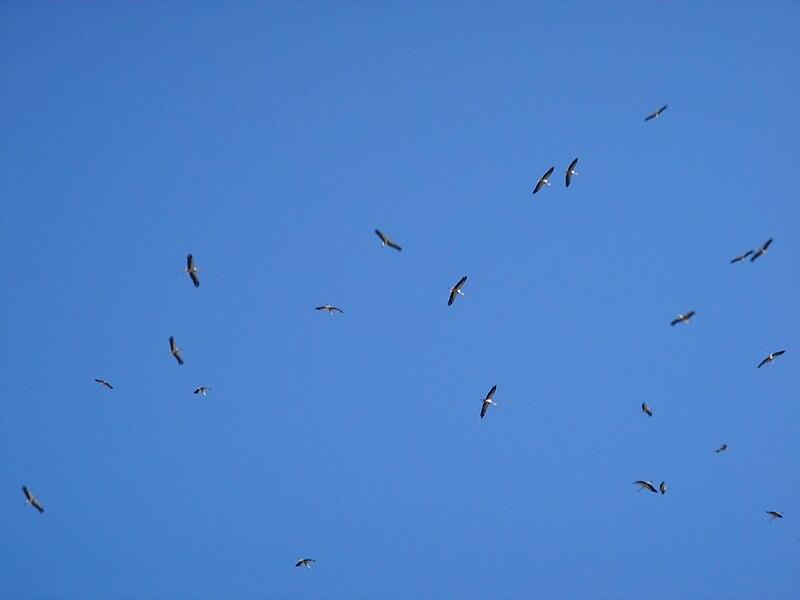 File:White Storks Migrating Northwards Over Bental Mountain ...