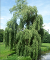 Wierzba biała (Salix alba).png