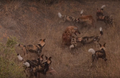 Wild Dogs Attack Spotted Hyenas to Defend Their Kill HD 2.png